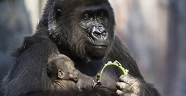 WATCH: Baby Gorilla - The Four-Pound Legacy