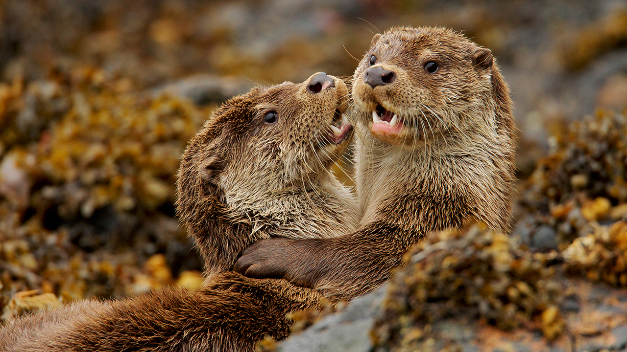 Nature: Charlies and the Curious Otters