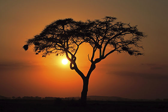 An image of a beautiful tree in Kenya, with an orange sunset background