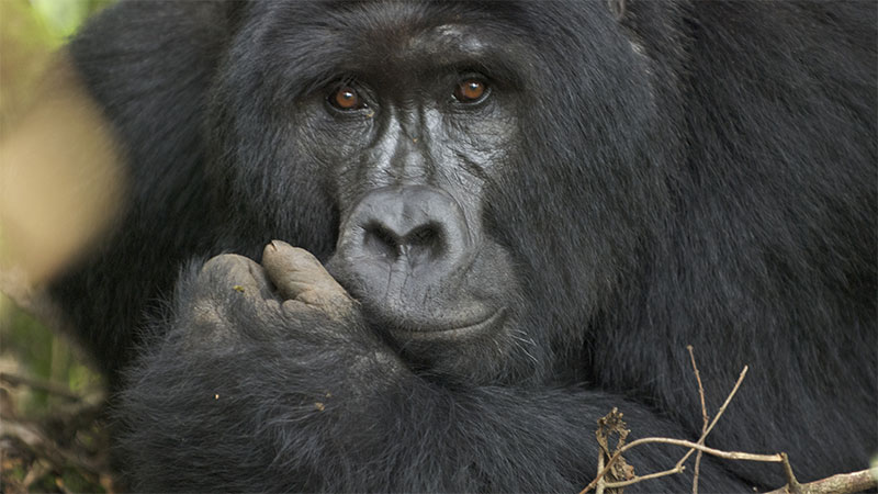 Eps 2 - Last Stand of the Silverback King