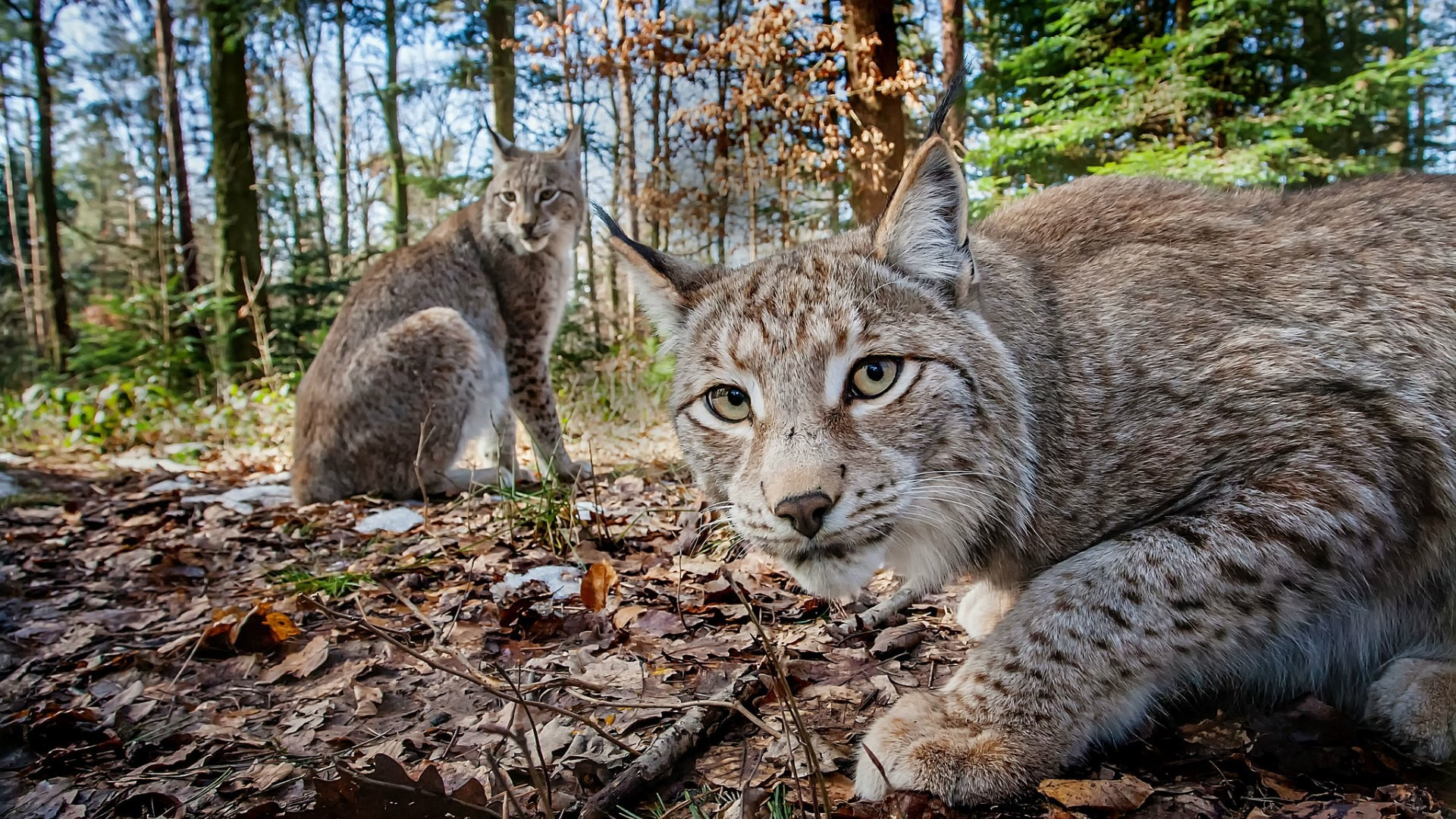 Nature: Forest of the Lynx - Wednesday, April 26 - 8 p.m.