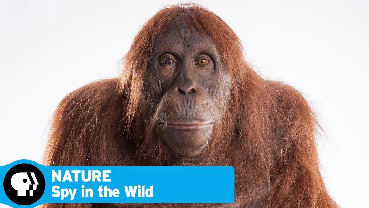 Nature: Spy i n the Wild - Wednesdays February 1 - March 1, 9 p.m.