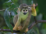 Small primates — like this squirrel monkey shown perching in a tree — use their long fingers and opposable digits to move agilely among the branches.