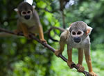 As these squirrel monkeys scurry around in the treetops, the shape of their hands allows them to reach food hanging from the tips of the branches.