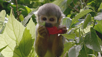 Monkey eating a flower