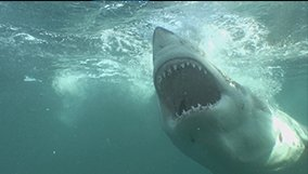 science_blog_nova_why-sharks-attack.jpg